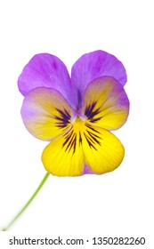 macro closeup of pretty purple pink yellow viola pansy flowers isolated on white with space for text