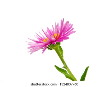 macro closeup of a purple pink with yellow heart Symphyotrichum novae-angliae camomille aster daisy flower isolated on white