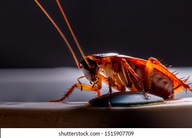 Macro, Close-up of a red cockroach at night