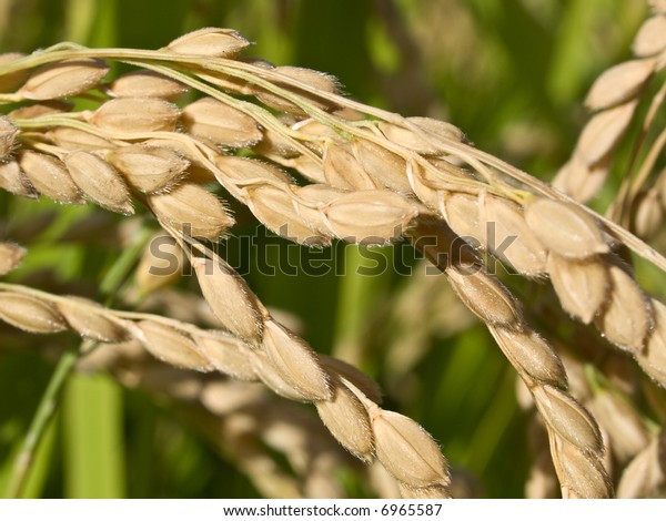 Macro close-up of rice growing on the plant showing fine hair on the husk of the rice grains