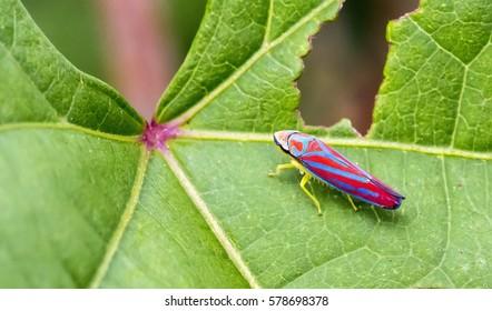Macro closeup of a single red-banded leafhopper bug (Graphocephala coccinea) on a leaf.