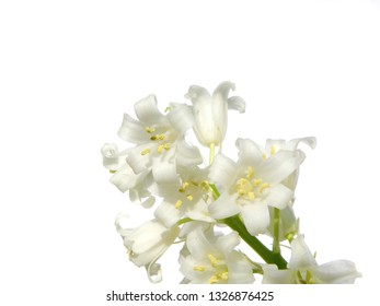 macro closeup of soft tender white yellow bell flowers of Hyacinthoides hispanica non-scripta, scilla bulb plant isolated on white