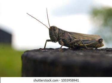 A macro close-up of a summertime grasshopper on a fence post.