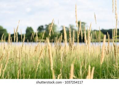 macro closeup of tall grass in illinois prairie nature preserves