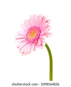 a macro closeup of a tender pink Gerbera flower plant from aster family  isolated on white