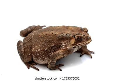 Macro close-up Thai toad.Front view.Thailand. Big bony headed toad or Spadefoot frog or Buffalo toad. Amphibian animal closeup.