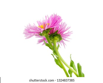 macro closeup of two purple pink with yellow heart Symphyotrichum novae-angliae camomille aster daisy flowers isolated on white