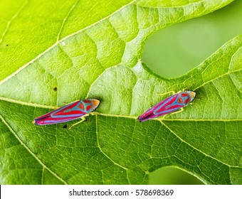 Macro closeup of two red-banded leafhopper insects (Graphocephala coccinea) on top of a leaf.