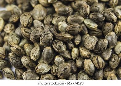 Macro close-up view of medical marijuana seeds