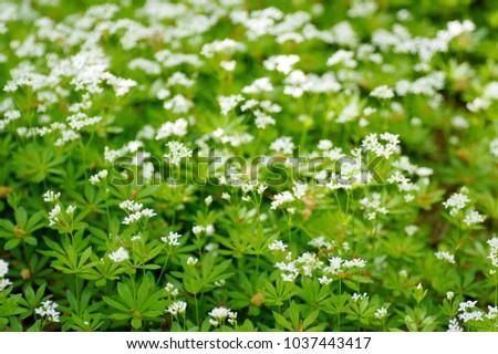 Macro closeup white tiny flowers wild stock photo edit now macro closeup of white tiny flowers of wild galium odoratum plant herb the sweetscented bedstraw mightylinksfo