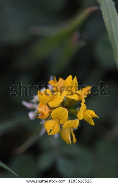 Macro of a cluster of Yellow Birdsfoot Trefoil flowers in the pasture