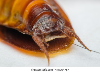 Macro of cockroach insects of the order Blattodea. Cockroach is carrier of Bacteria, Birus, Protozoal infections and Fungus.