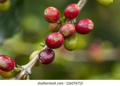 macro of coffee seed from a Tree
