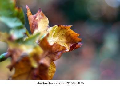 Macro of a Colorful Autumn Leaf