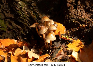 Macro colour photograph of two clump of Oak-stump mushrooms within old tree stump in landscape orientation.