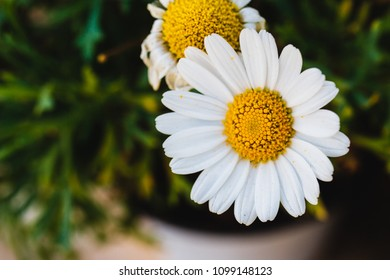 Macro of a common daisy, during a walk at the park in the morning