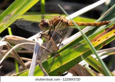 Macro of Common Darter Dragonfly