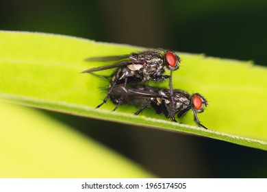 Macro of common flesh flies (Sarcophaga carnaria) mating on a green leaf.