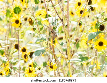 Macro of a Common Green Darner (Anax junius) Hanging from Wild Sunflowers During Migration in Eastern Colorado