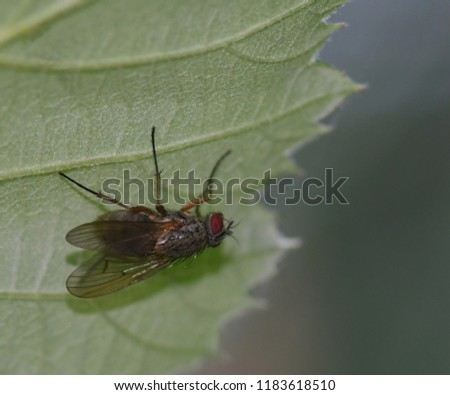 Macro of a common housefly with filigreed wings and red eyes under a green leaf