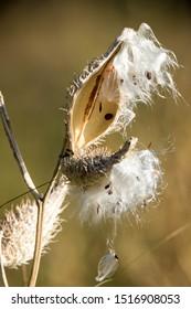 Macro of common milkweed dispersing seeds