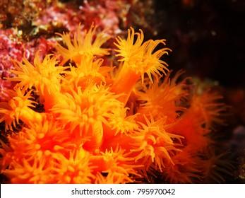 Macro of coral Astroides calycularis. Orange coral of the mediterranean sea.
