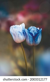 Macro of a couple blue isolated tulip flowerd against soft, blurred green background with bokeh bubbles and sunshine