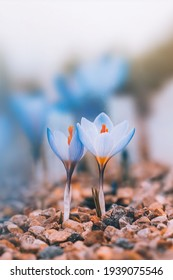 Macro of a couple of blueearly Spring crocuses. Soft, blurred background, shallow depth of field. Isolated flowers against light. Tiny rocks in the foreground