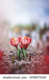 Macro of a couple of red early Spring crocuses. Soft, blurred background, shallow depth of field. Isolated flowers against light. Tiny rocks in the foreground