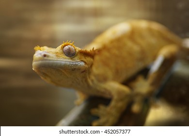 Macro of Crested Gecko