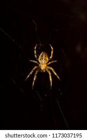Macro of a cross spider, also called  european garden spider, diadem spider or pumpkin spider,  in dark