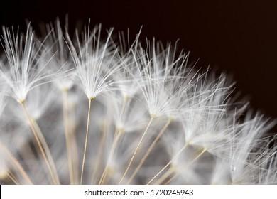 macro of dandelion flower with seeds