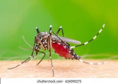 Macro Dangerous Zica virus aedes aegypti mosquito on skin human