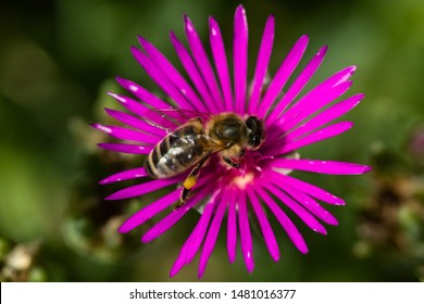 Macro of a delosperma cooperi with a bee