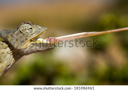 Macro of a Desert Chameleon with shooting tongue, Namibia