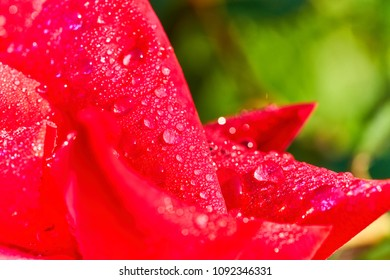 Macro detail of bright red rose petal with natural morning dew water droplets, common flower representing love on Valentine's Day