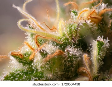 Macro detail of Cannabis flower trichomes (industrial plant strain) vith visible resin glands, medical marijuana concept
