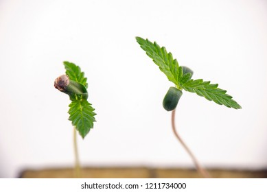 Macro detail of cannabis sprout on a cube with the first two leaves growing, isolated over white background