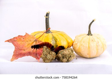 Macro detail of caterpillar sitting on cannabis nugs & gourds isolated over white background - medical marijuana concept