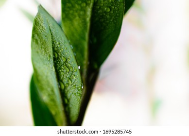 Macro detail of a few refreshing drops of water on the green leaves of a houseplant.