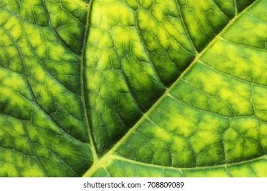 macro detail of green fresh  hortensia leaf