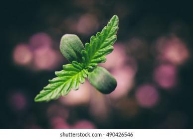 Macro detail of Marijuana plant seedling growing from seed