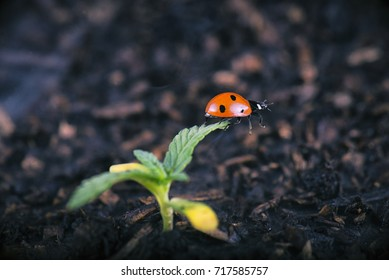 Macro detail of potted cannabis sprout with lady bug (ladybeetle) - medical marijuana farming concept