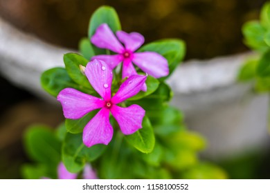Macro details of periwinkle. Catharanthus roseus, commonly known as the Madagascar periwinkle, rose periwinkle, or rosy periwinkle, is a species of flowering plant in the dogbane family Apocynaceae.