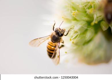 Macro distance honeybee