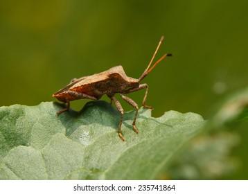 Macro of Dock bug (Coreus marginatus) on Rumex leaf  side low angle view