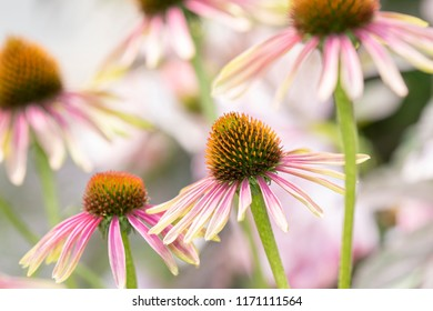 Macro of Double Decker Cone Flower (Echinacea) in Beautiful Light