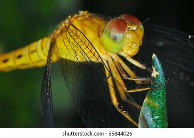 Macro of Dragonfly