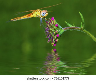 macro of a Dragonfly Inn in a flower over the river