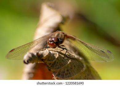 Macro of a dragonfy sitting on a leaf